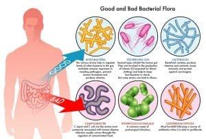Good bacteria digestive system Prebiotics probiotics
