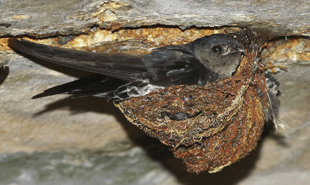 cave swiftlet benefits myth Bird's nest
