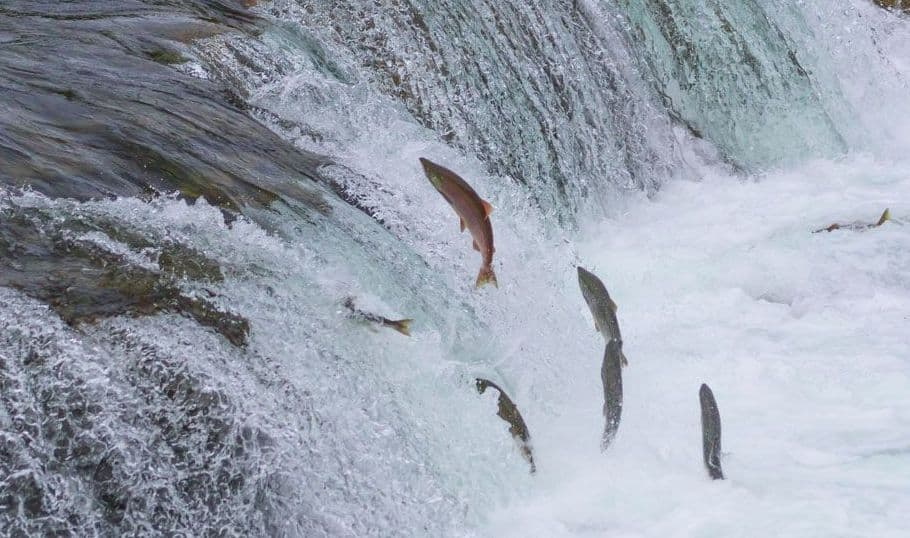 Salmon fish oil- fish swimming up waterfall